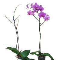 rechte Orchidee mit Bio-orchideenguss behandelt