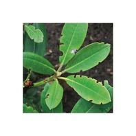 Dickmaulrüssler Frassschaden an Rhododenron