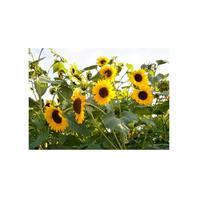 Reinsaat Helianthus annuus Sonnenblume, 'Goldener Neger'