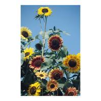 Reinsaat Helianthus annuus, Sonnenblume Herbstschönheit