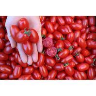 Reinsaat Tomate Donatellina