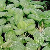 Reinsaat Asia Gemüse Pak Choi White Celery Mustard Saatgut