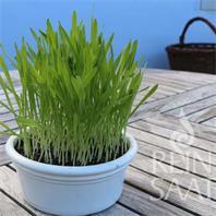 Reinsaat Smoothie-Gras Saatgut