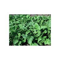 Reinsaat Salatrauke Rucola coltivata