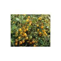 Reinsaat Tomate Gelbe Johannisbeere
