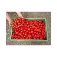 Reinsaat Tomate Marglobe