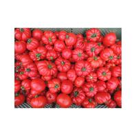 Reinsaat Tomate Marmande