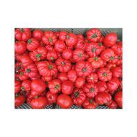 Reinsaat Tomate Marmande
