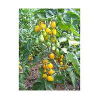 Reinsaat Tomate Yellow Submarine