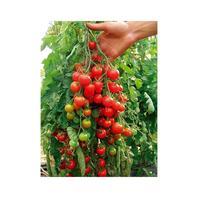 Reinsaat Tomate Zuckertraube