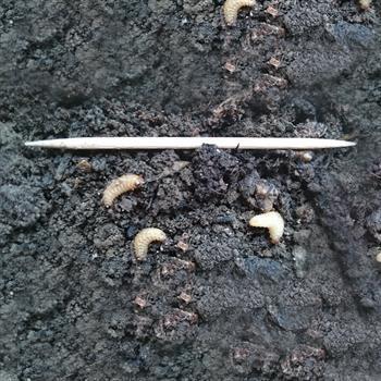 DickmaulrüsslerLarven parasitiert färben sich dunkel