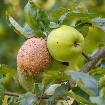 Fruchtfäule an Äpfeln