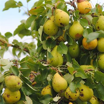 Fruchtfäule an Birnen