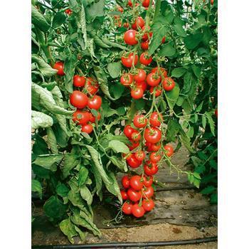 Reinsaat Tomate Matina