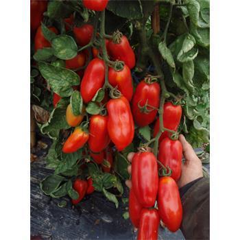 Reinsaat Tomate San Marzano