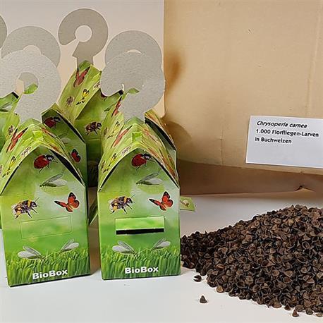 Florfliegenlarven auf Buchweizenspelzen und BioBox gegen Blattläuse und Wollläuse