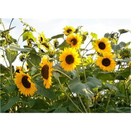 Reinsaat Helianthus annuus Sonnenblume,goldener Neger