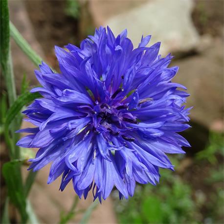Kornblume Blauer Junge von Reinsaat