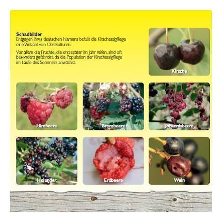 Neudorff Obstfliegenfalle Schadbilder an Früchten