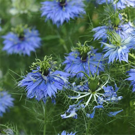 Reinsaat Nigella damascena, Jungfer im Grünen, blau