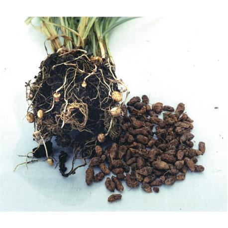 Reinsaat Erdmandel Cyperus esculentus glutenfrei