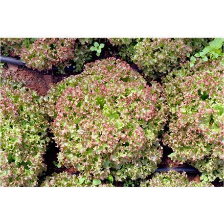 Reinsaat Pflücksalatlollo rossa