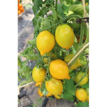 Reinsaat Tomate Citrina BioSaatgut