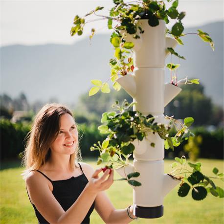 Sissi Strawberry Erdbeerbaum hängend Naschobst