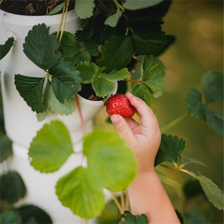 Sissi Strawberry Erdbeerbaum Naschobst