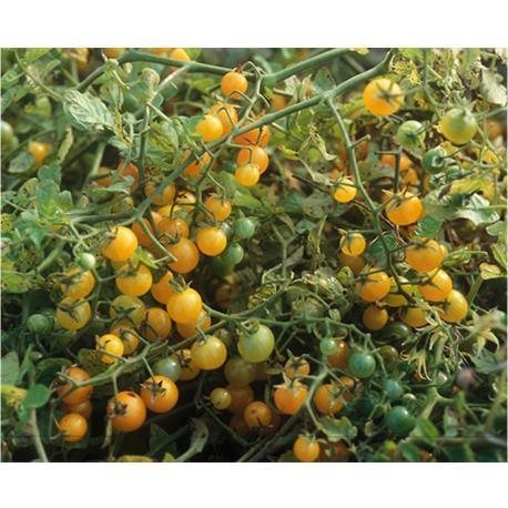 Reinsaat Tomategelbe Johannisbeere