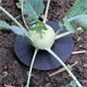 Anwendung Andermatt Biogarten Kohl-Kragen