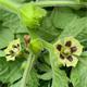 Blüte Reinsaat Erdkirsche Molly