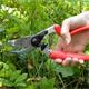 Gartenschere Felco 7 in Anwendung