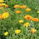 Reinsaat Ringelblume, gelb-orange Saatgut