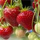 leckere Erdbeeren Sissi Strawberry Erdbeerbaum