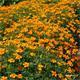 Reinsaat Tagetes tenuifolia, Gewürztagetes Saatgut