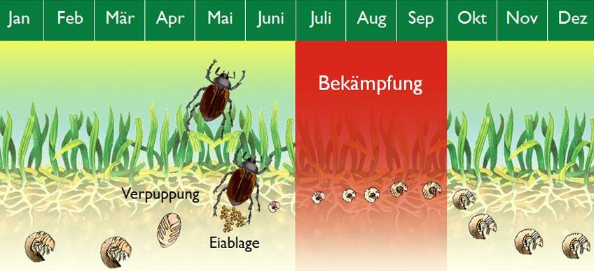 Lebenszyklus Gartenlaubkäfer