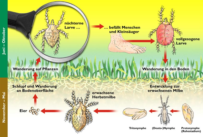 Lebenszyklus Herbstgrasmilbe