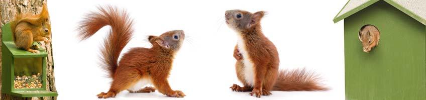 Eichhörnchen kaufen