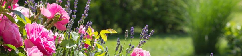 Echter Mehltau an Rosen