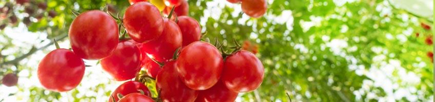 Tomaten kaufen