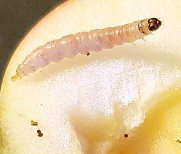Nematoden gegen Apfelwickler